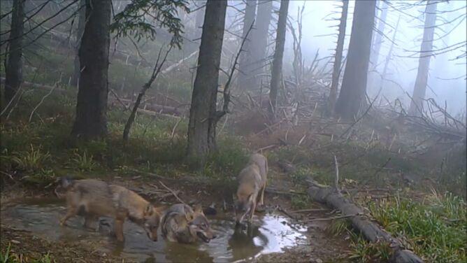 """""""Pogoda pod wilkiem"""". <br />Zwierzęta złapane w fotopułapkę"""